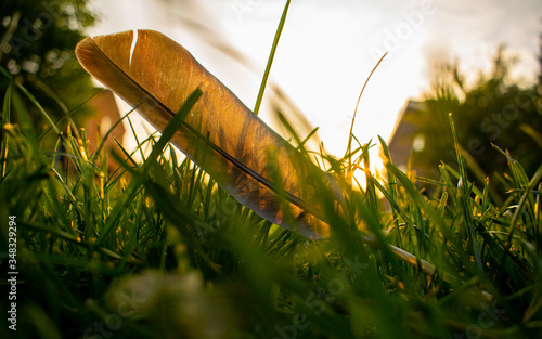 Grey feather laying on the grass in sunset, quill in sunlight, lost pigeon ailer Wallpaper Mural