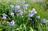 Fototapeta Kwiaty - wiosenne dzwonki