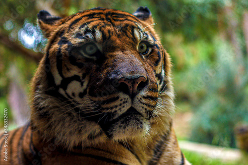 tiger in zoo Canvas Print