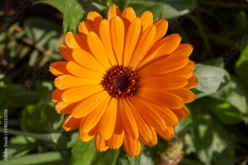 Obraz Calendula, or Marigold (lat. Calendula) - a genus of herbaceous plants of the Astra family (Asteraceae). The last flowers of calendula before the onset of cold. - fototapety do salonu