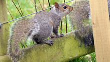 Grey Squirrel Searching For Food