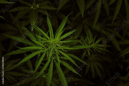 green leaves of cannabis or marijuana Wallpaper Mural