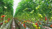 Tomatoes Growing On Plants In Greenhouse