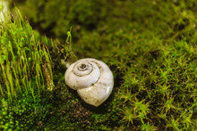 Empty Shell Of A River Snail Lying On A Green Moss