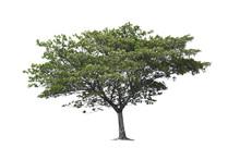 Rain Tree, East Indian Walnut ...