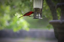 Northern Cardinal Perching Bir...