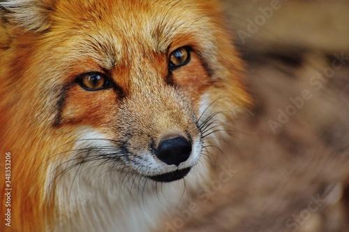 Photo Fotos de animales Cara de animal Lobo- zorrilo