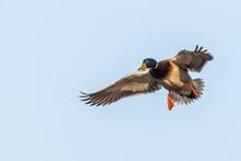Drake Mallard Flaring On Landing