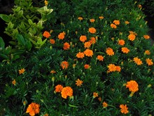 High Angle View Of Orange Flowers Growing In Field