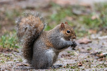 The Gray Squirrel With A Thick Tail Eats A Peanut