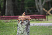 Female Cardinal Eating Sunflower Seeds At Picnic Table