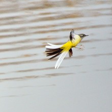 Grey Wagtail Flying Over Lake