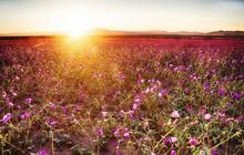 Purple Wildflowers Growing In Field Against Sky During Sunset
