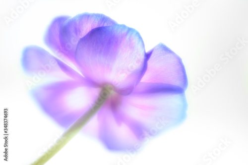 Purple Anemone on a white background with painterly affect Wallpaper Mural