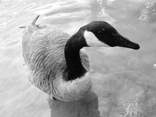 High Angle View Of Canada Goose Swimming In Lake