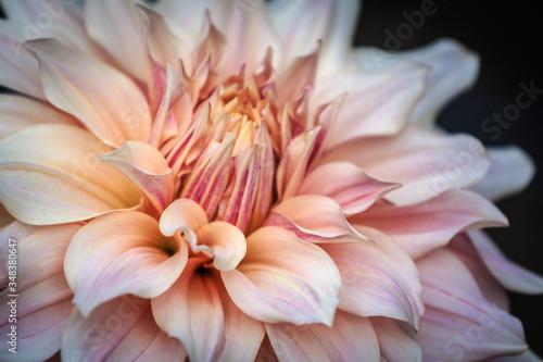 Fotografie, Obraz Close-up Of Pink Dahlia