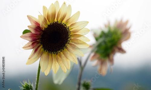 Vászonkép Close-up Of Daisy Flower