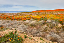 California Desert In Bloom With Orange Poppies And Yellow Flowers With Purple Mountains In The Background