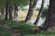 Brown Dog Standing Near Tree Against Lake