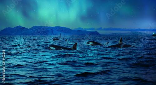 Fotografía Orcas killerwhales in dark night sea under polar light on background in northen