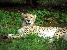 Portrait Of Cheetah Relaxing On Grassy Field