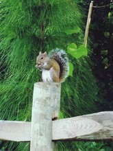 Squirrel On Wooden Fence By Pl...