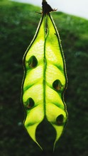Close-up Of Seedpod Growing On Plant At Field