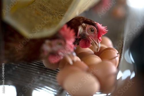 Fotografie, Obraz Chicken eggs in a cage in a farm industry for farmers in Asia
