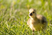 Goslings Are Enjoying Springti...