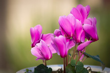 Pink Cyclamen Flower On Blurre...