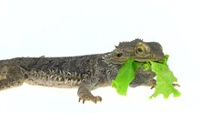 Lizards Bearded Agama Or Pogona Vitticeps Eating Leaf Isolated At White Background In Studio. Close Up