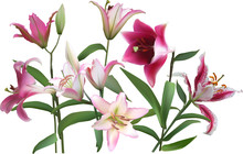 Group Of Light And Dark Pink Lily Flowes On White