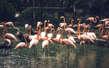 Greater Flamingo. Scientific N...