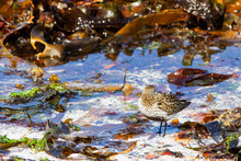 Dunlin Bird On A Sand Beach By...