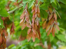 Fresh Winged Seeds Of Box Elder Tree At Spring