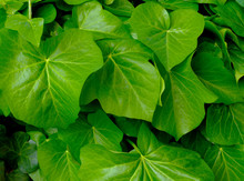 Bright Green Boston Ivy Waxy Leaves In Bright Sunlight. Shiny White Reflections. Background Image. Freshness And Outdoors Concept. Beauty In Nature. Macro View Of Two Large Leaves.