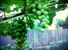 Close-up Of Green Grapes In Vineyard