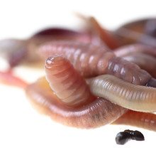 Earthworms Isolated On A White