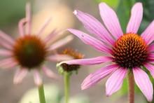 Close-up Of Purple Coneflower ...