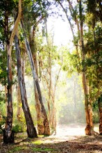 Tall Trees In Forest With Sunlight