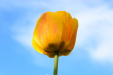 Open Yellow Tulip Against The Bare Sky