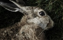 Close-up Of Dead Rabbit On Field