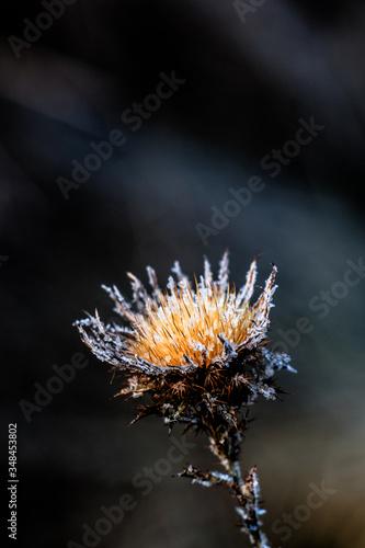 Fototapeta thistle plant - oset obraz