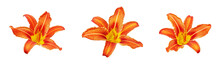 Orange Day Lily Flower Set White Background Isolated Close Up, Three Red & Yellow Petals Lilly, Beautiful Hippeastrum Macro, Colorful Amaryllis Flower Head, Daylily Garden Plant, Floral Design Element