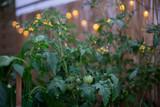 Balkonowa uprawa pomidorów 1