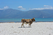 Cow On Plage Du Lotu (Loto Bea...