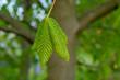 duży zielony liść kasztanowca