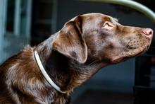 A Curious Chocolate Labrador D...