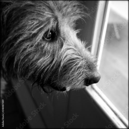 Close-up Of Irish Wolfhound Fototapeta