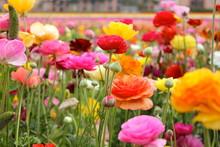 Colorful Ranunculus Flowers Blooming In Park